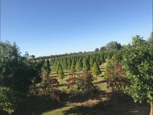 Rutherglen Christmas Trees Farm Stay - Accommodation in Surfers Paradise