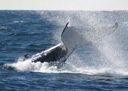Whale Watching Sydney - Accommodation in Surfers Paradise