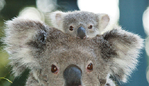 Billabong Koala and Wildlife Park - Accommodation in Surfers Paradise