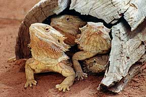 Alice Springs Reptile Centre - Accommodation in Surfers Paradise