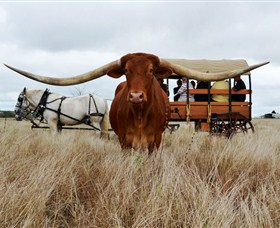 Texas Longhorn Wagon Tours and Safaris