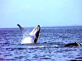 Whale Watching - Accommodation in Surfers Paradise