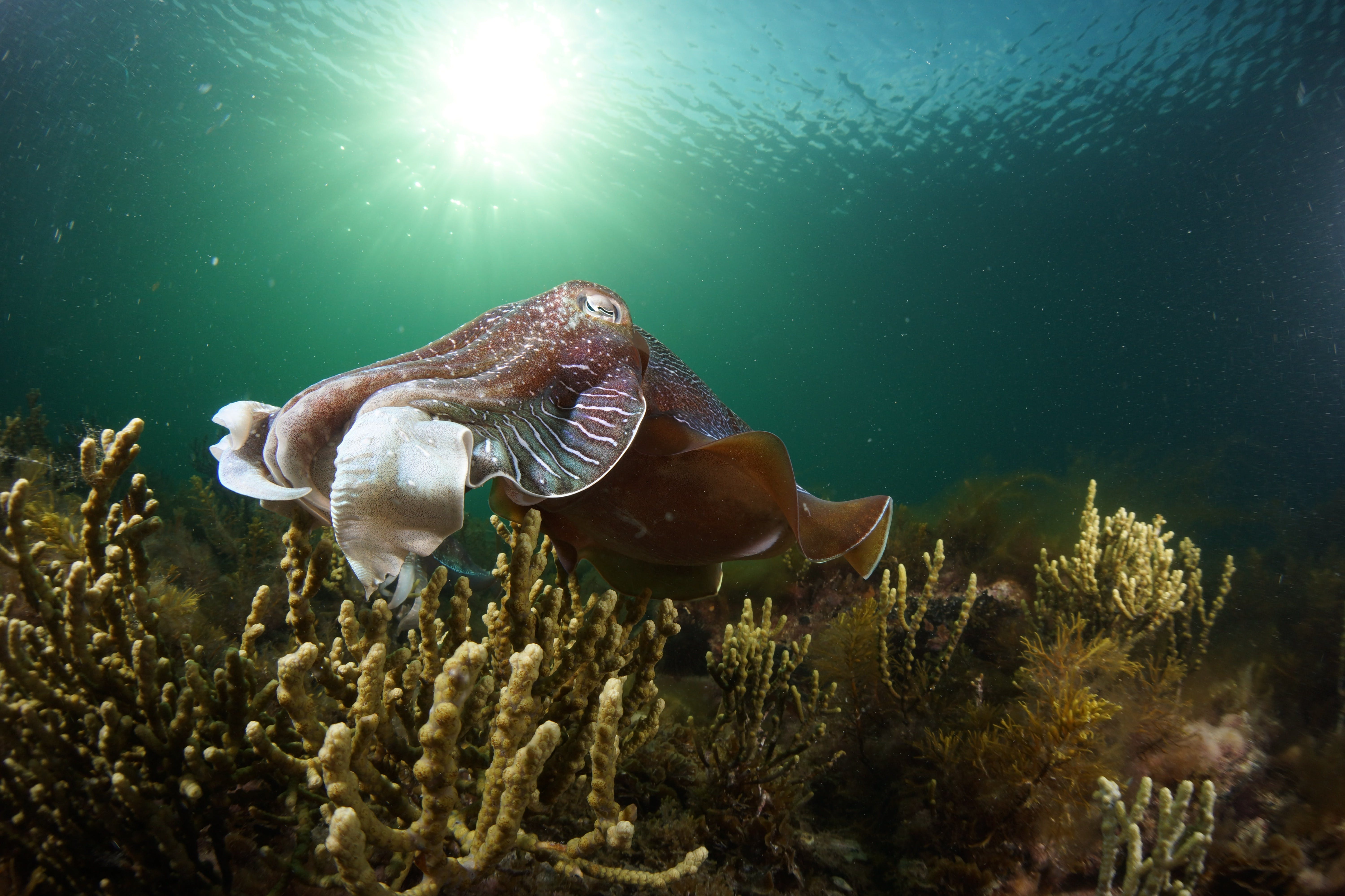 Cuttlefish Diving  Snorkeling EVERYDAY May -August - Accommodation in Surfers Paradise